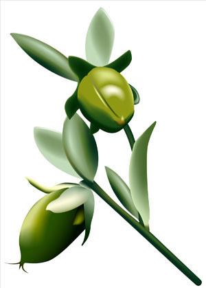 L'huile de jojoba