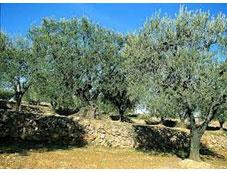 Les huiles d'olive